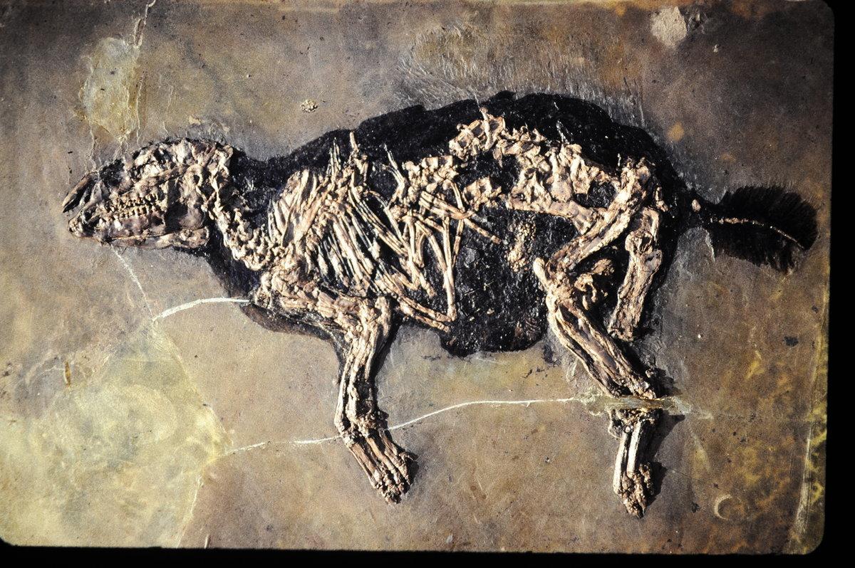 Urpferdchen Fossil